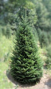A fine example of a #1 Quality Fir